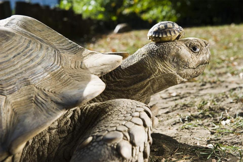 Baby Tortoise on Mom's Head
