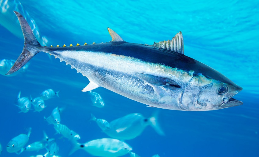 The Search for Sustainable Tuna