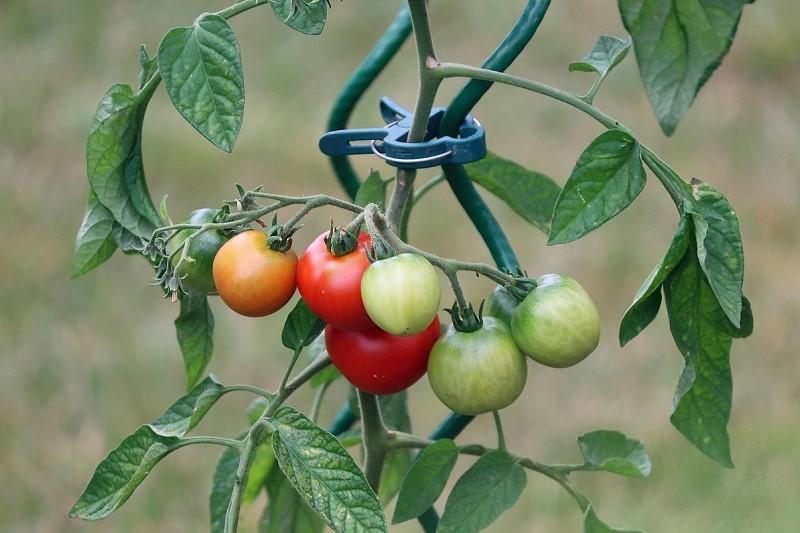 How To Grow Bountiful Tomatoes