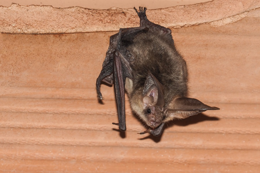 Mosquitos Driving You Nuts? Attract a Bat Colony